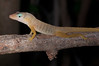 "<a href=""http://www.flickr.com/photos/theactionitems/6776566727/"">Photo of Anolis pogus by Marc AuMarc</a>"