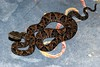 "<a href=""http://www.flickr.com/photos/berniedup/6781403567/"">Photo of Bothrops asper by BERNARD</a>"