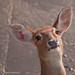 Oh Deer! (Brow Antlered Deer) by Gareth Brooks