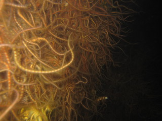Wall of brittle star