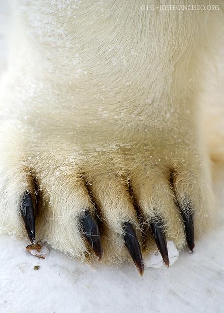 Polar bear claws - photo#6