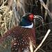 Ring-necked Pheasant_8635-150
