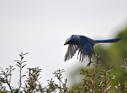 Florida Scrub-Jay Coming in for a Landing!