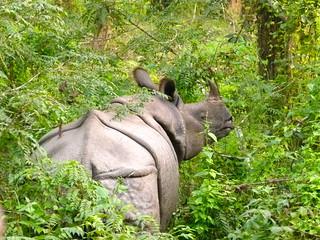 One-Horned Asian Rhino