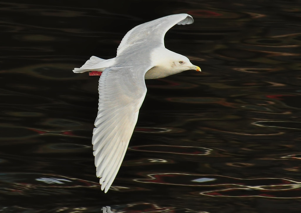 Iceland Gull 4