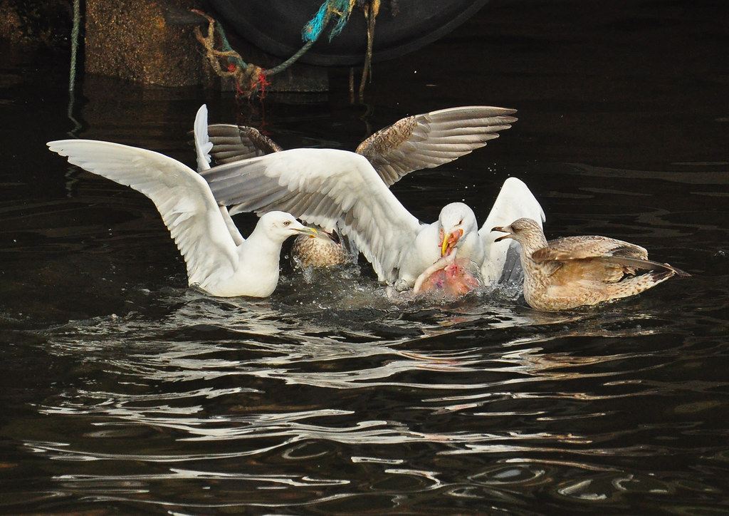 Iceland Gull 1