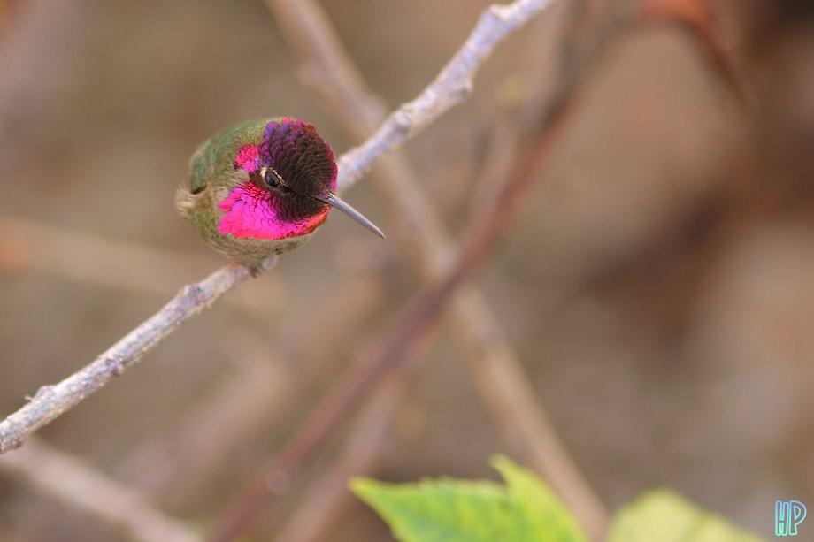 Anna's Hummingbird 020612