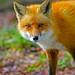Red Fox by Brian E Kushner