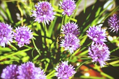 jasione montana(0.0), vegetable(0.0), flower(1.0), ironweed(1.0), plant(1.0), bee balm(1.0), lilac(1.0), wildflower(1.0), flora(1.0), produce(1.0), chives(1.0),