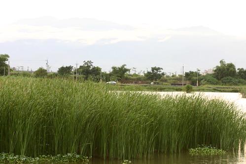 五十二甲溼地的草澤環境。(圖片來源:荒野保護協會宜蘭分會)