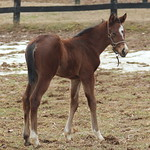 GRECOURT GATES/NOT FOR LOVE FILLY FOALED 2/23/14 AT DARK HOLLOW FARM. OWNED AND BRED BY WILLIAM LANDES.