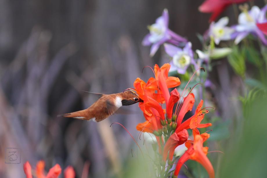 Rufous-Hummingbird-040714