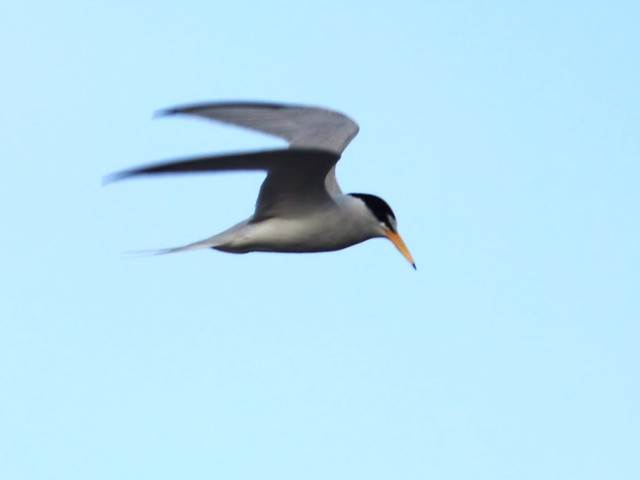 Least Tern in flight 20140416