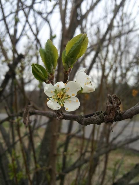 plum bud