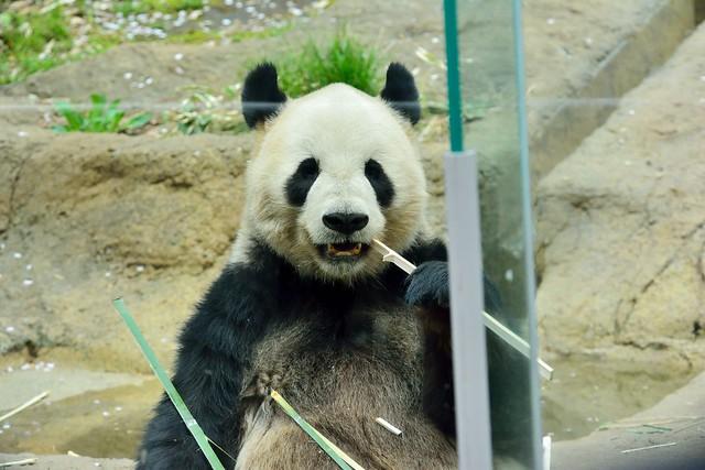 望遠レンズで撮影した上野動物園のパンダ
