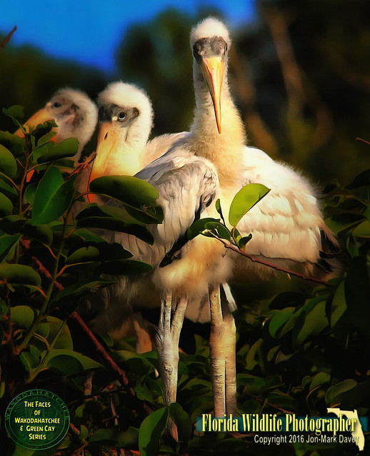 Face to Face with a baby Wood Stork and brother
