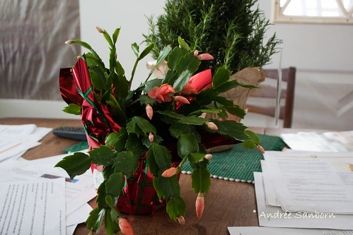 New Christmas Cactus-1