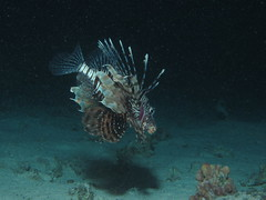 Common Lionfish,  Pterois miles hunting at night at Sataya Reef (night), Red Sea, Egypt #SCUBA #UNDERWATER #PICTURES