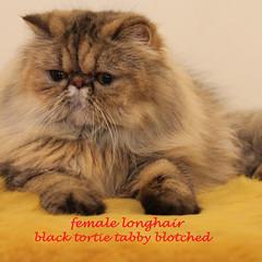 Sedia 2 ekor kucing persia longhair betina pekenose xtr