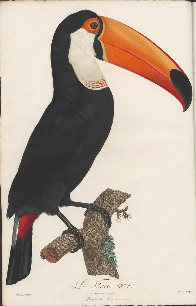 toucan illustration - coloured engraving