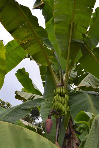 Flowering banana tree!