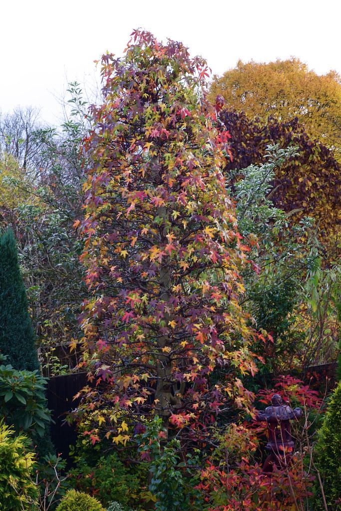 Liquidambar in autumn flickr photo sharing for Garden design under gum trees