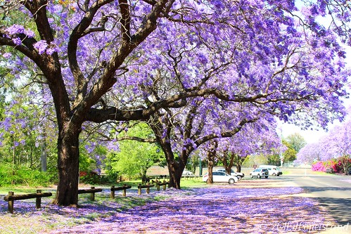 Jacaranda trees - Explored