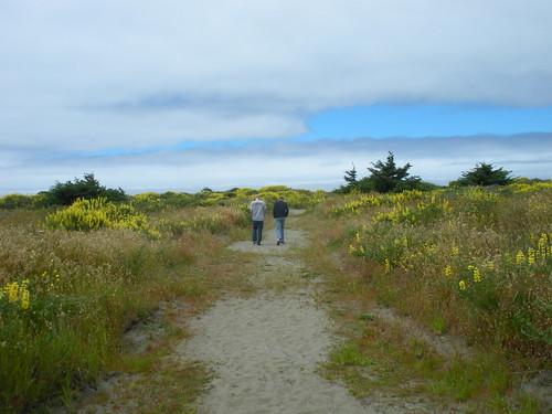 Northern California Coast Lupine in Bloom