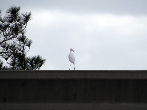 Great Egret on the monorail