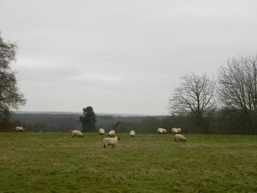 Sheep in a field Borough Green to Sevenoaks