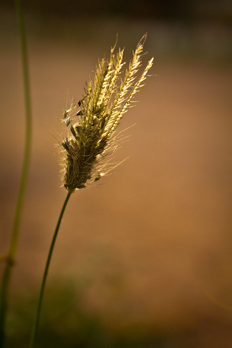sunset flower grain photowalk backlit grains sunrays ulsoor lastray
