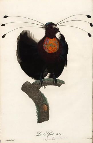 012-El Sifilet-Histoire naturelle des Oiseaux de paradis et des Rolliers.. 1806-François Levaillant