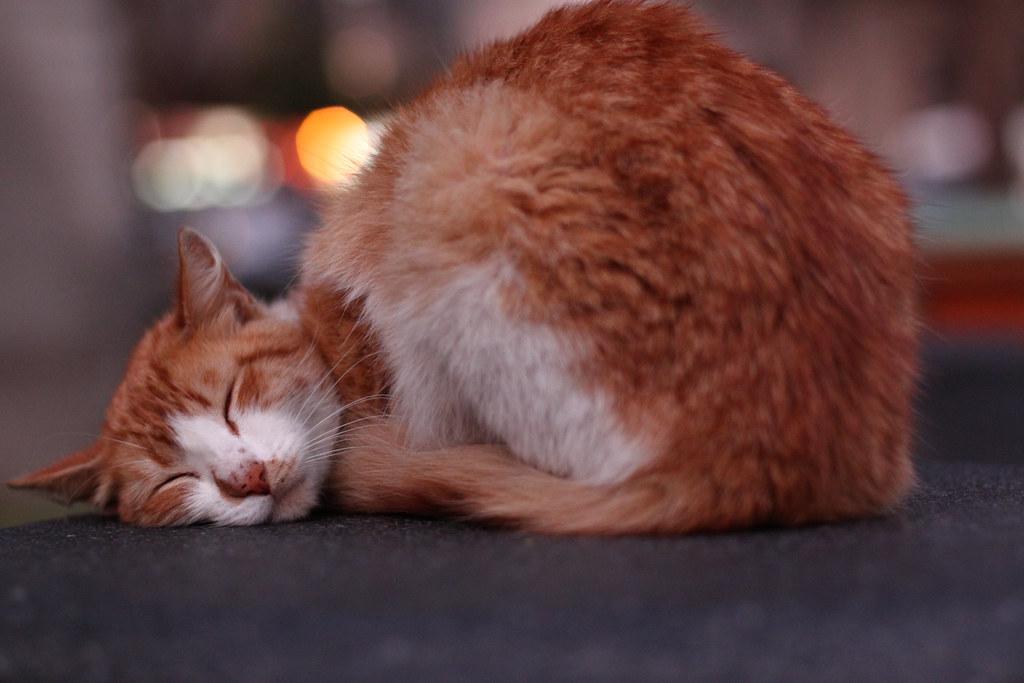 आलसी बिल्ली
