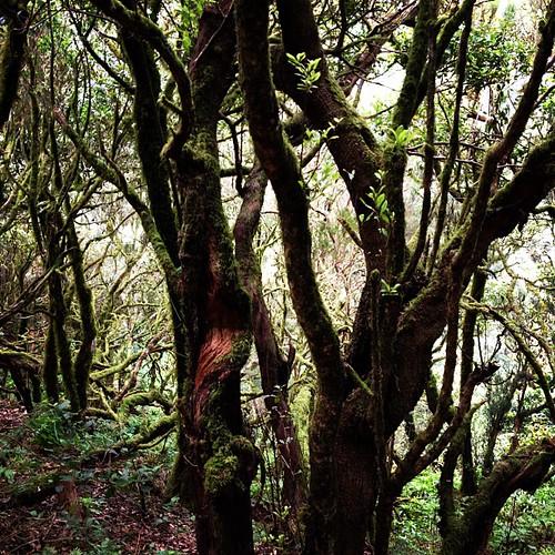 Laurisilva #gomera #canarias #garajonay #woods