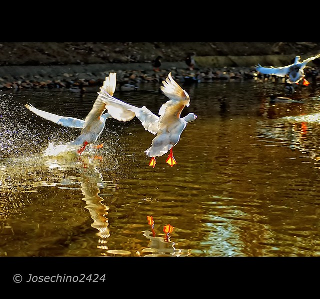 Patos en vuelo