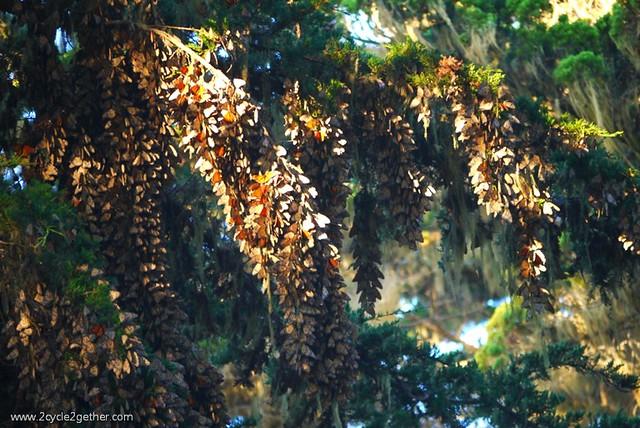 Monarch Sanctuary : Pacific Grove, CA