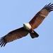 Brahminy Kite by Photoskipper