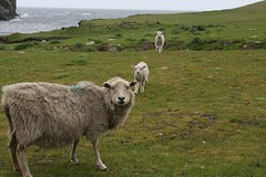 fair isle 2 sheep