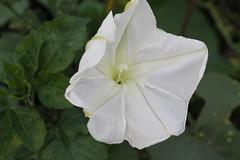 ipomoea violacea(1.0), flower(1.0), datura inoxia(1.0), ipomoea alba(1.0), plant(1.0), macro photography(1.0), flora(1.0), petal(1.0),