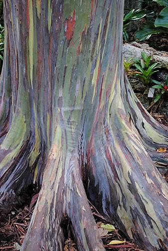 green purple miami newguinea ceram eucalyptusdegluptaisatalltree commonlyknownastherainboweucalyptus themindanaogum ortherainbowgumitistheonlyeucalyptusspeciesfoundnaturallyinthenorthernhemisphereitsnaturaldistributionspansnewbritain sulawesiandmindanaothesecolorfultreesgrowbestintropicalcountriesnearfreshwaterlakesandpondsrainboweucalyptustreesgrowrapidlyabout5to8feetperyearthesecangrowuptoabout75feettalland6to8feetwidethetrunkshines orangeandevenpurpleitisamazinghowtheseeucalyptustreesgetitscolorpatchesofbarksheddingiscausingthevibrantcolorsofthesetrees hencethenamerainbowtreespatchesofouterbarkareshedannuallyatdifferenttimes showingthebrightgreeninnerbarkthisthendarkensandmaturestogiveblue orangeandfinally maroontonesrainboweucalyptus eucalyptusdegluptafairchildtropicalbotanicgarden flrainboweucalyptuseucalyptusfairchildtropicalbotanicgarden