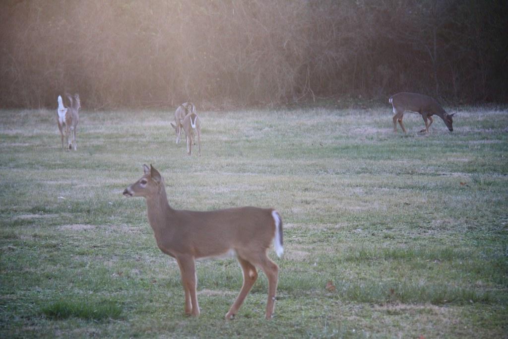 look several deer