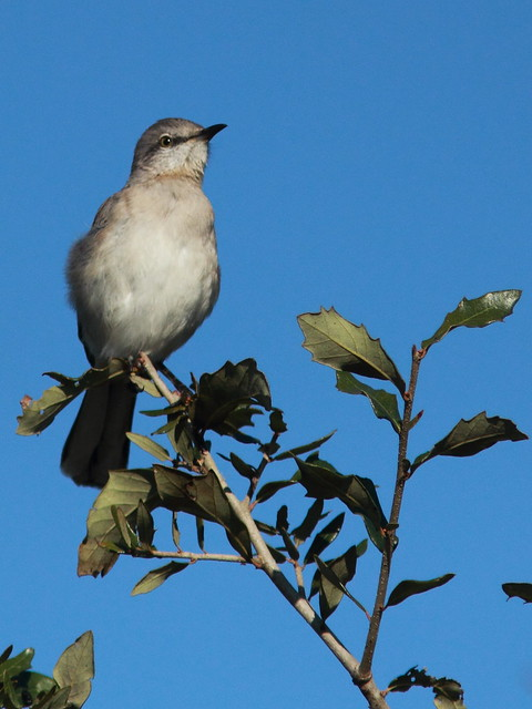 Northern Mockingbird 20120108