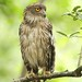 Brown Fish Owl by namal k