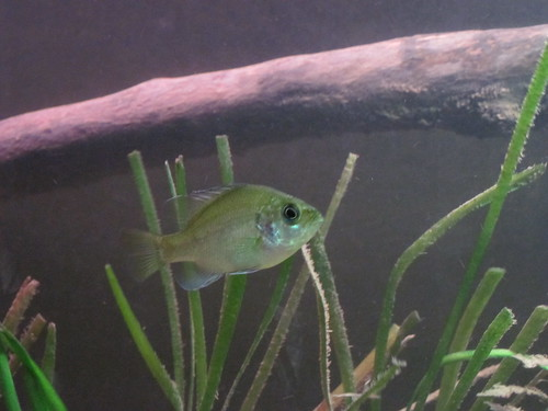 Small Black spotted sunfish