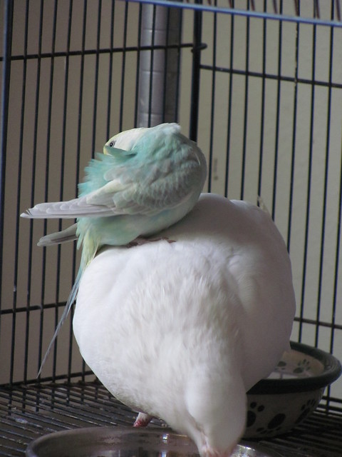 Budgie preens while pigeon eats