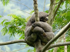 koala(0.0), new world monkey(0.0), animal(1.0), three toed sloth(1.0), branch(1.0), zoo(1.0), mammal(1.0), fauna(1.0), jungle(1.0), wildlife(1.0),