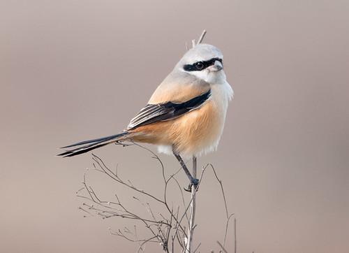 無料写真素材, 動物 , 鳥類, タカサゴモズ