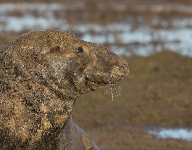 male grey seal close up 2
