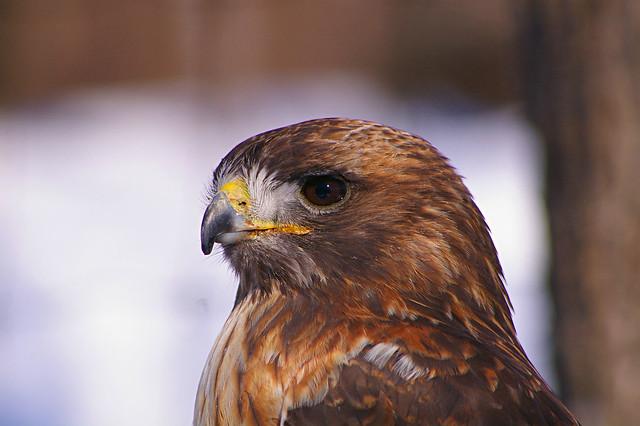 R.T. Hawk