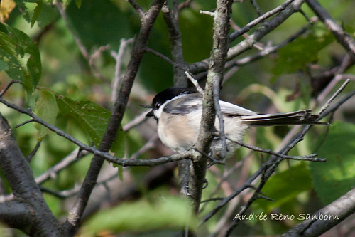 Black-capped Chickadee-1.jpg